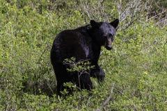 Orso nero nel parco nazionale di Waterton Immagini Stock