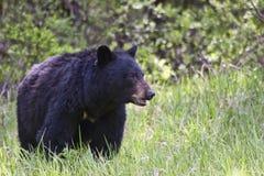 Orso nero nel selvaggio Fotografie Stock Libere da Diritti
