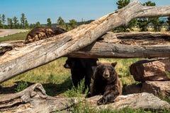 Orso nero nordamericano che scala sugli alberi caduti fotografia stock libera da diritti