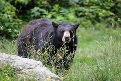 Orso nero nordamericano - North Carolina Immagine Stock Libera da Diritti