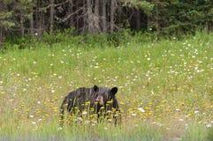 Orso nero selvaggio in Ontario del nord, Canada Fotografia Stock