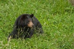 Orso nero (Ursus americanus) Fotografia Stock