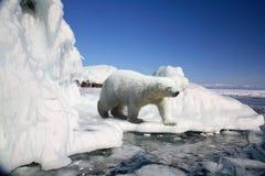 Orso polare Fotografie Stock
