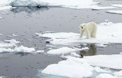 Orso polare immagine stock libera da diritti