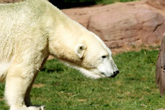 Orso polare immagini stock
