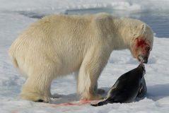 Orso polare immagini stock libere da diritti