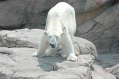 Orso polare # 3 Immagini Stock Libere da Diritti