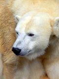 Orso polare 9 fotografie stock libere da diritti