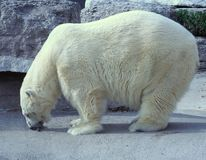 Orso polare affamato fotografia stock libera da diritti