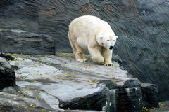 Orso polare, animali amichevoli allo zoo di Praga Fotografia Stock Libera da Diritti