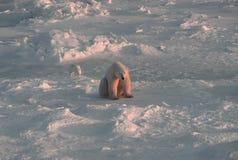 Orso polare in Artide canadese Fotografia Stock