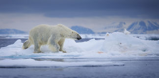 Orso polare bagnato Fotografie Stock