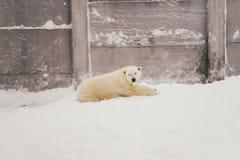 Orso polare bianco nella foresta della neve fotografia stock