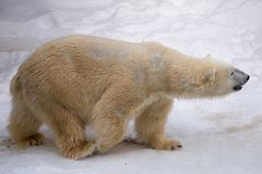 Orso polare che cammina intorno alla gabbia con pelliccia bianca fotografia stock libera da diritti