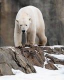 Orso polare che cammina sulle rocce Fotografia Stock