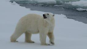 Orso polare che cammina in un'Artide stock footage