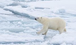 Orso polare che cammina in un'Artide immagine stock