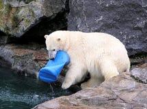 Orso polare che gioca con il giocattolo Fotografia Stock Libera da Diritti