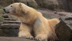 Orso polare che guarda intorno, colpo della fauna selvatica video d archivio