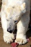 Orso polare che ha commensale immagine stock libera da diritti