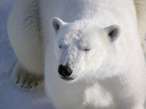 Orso polare che riposa pacificamente all'alba Fotografie Stock Libere da Diritti