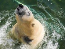 Orso polare che salta dall'acqua fotografia stock