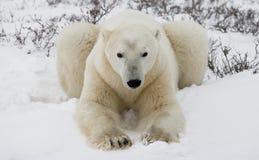 Orso polare che si trova nella neve nella tundra canada Parco nazionale di Churchill immagini stock libere da diritti