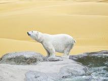 Orso polare circondato dalle sabbie del deserto Fotografie Stock Libere da Diritti