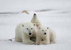Orso polare con cuccioli nella tundra canada fotografia stock libera da diritti