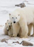 Orso polare con cuccioli nella tundra canada fotografie stock libere da diritti