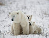 Orso polare con cuccioli nella tundra canada fotografia stock