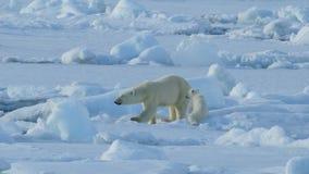 Orso polare con il cub stock footage