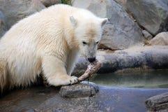 Orso polare del Cub Immagini Stock Libere da Diritti