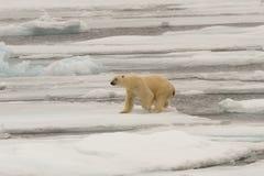 Orso polare del pack Immagine Stock