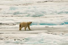 Orso polare del pack Fotografie Stock