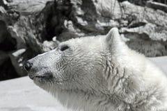 Orso polare di crisi del mutamento climatico di riscaldamento globale Fotografie Stock