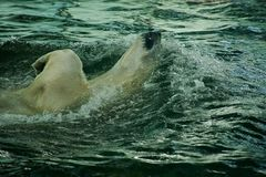 Orso polare di nuoto nello zoo Immagine Stock Libera da Diritti