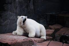 Orso polare di ringhio Fotografia Stock Libera da Diritti