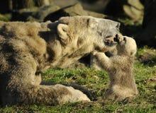 Orso polare e cub Immagine Stock