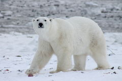 Orso polare Hudson Bay (8) Fotografia Stock