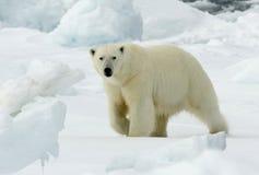 Orso polare, IJsbeer, ursus maritimus fotografia stock libera da diritti