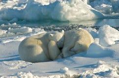 Orso polare, IJsbeer, ursus maritimus immagini stock