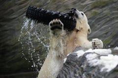 Orso polare, maritimus del Ursus immagini stock