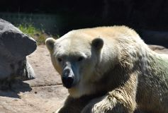 Orso polare nel giardino zoologico Immagine Stock Libera da Diritti