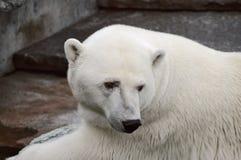 Orso polare nel padiglione del giardino zoologico Immagini Stock Libere da Diritti