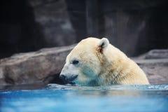 Orso polare Fotografia Stock Libera da Diritti