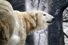 Orso polare nella foresta, annuvolamento fotografie stock