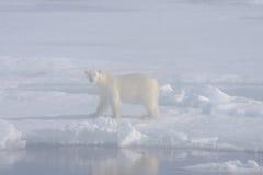 Orso polare nella nebbia Fotografie Stock
