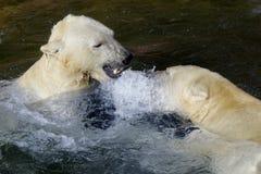 Orso polare o del ghiaccio fotografia stock