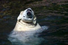 Orso polare o del ghiaccio immagini stock libere da diritti